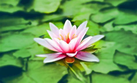 close up photography of pink lotus 183 free