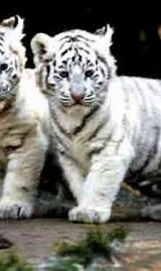 10 Interesting White Tiger Facts | My Interesting Facts