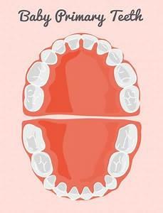 Teeth Chart Stock Vectors  Royalty Free Teeth Chart