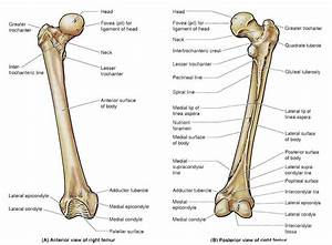 Femur Bone Diagram