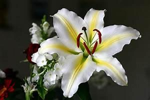 Fleur De Lys Plante : fleur de lys na tropie kebeckiej lilijki kronika ~ Melissatoandfro.com Idées de Décoration