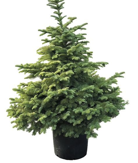 how to plant a living christmas tree that ll last for many
