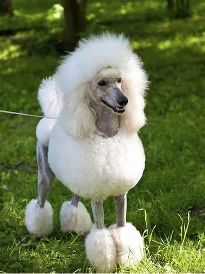 Poodle Dog Breeds Characteristics Poodles Bad Grooming