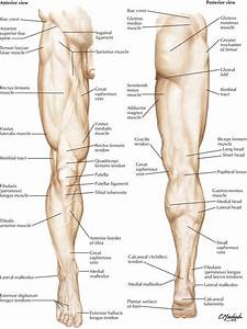 7  Lower Limb