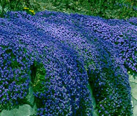 low growing ground cover aubretia blue shades seeds perennial shrub frost hardy low growing ground cover ebay