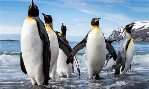 emperor penguin aptenodytes forsteri size reaching  cm