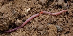 Vers De Terre Acheter : vers de terre001 conseils coaching jardinage des conseils pour votre jardin ~ Farleysfitness.com Idées de Décoration