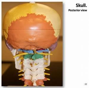Multi-colored Skull  Posterior View