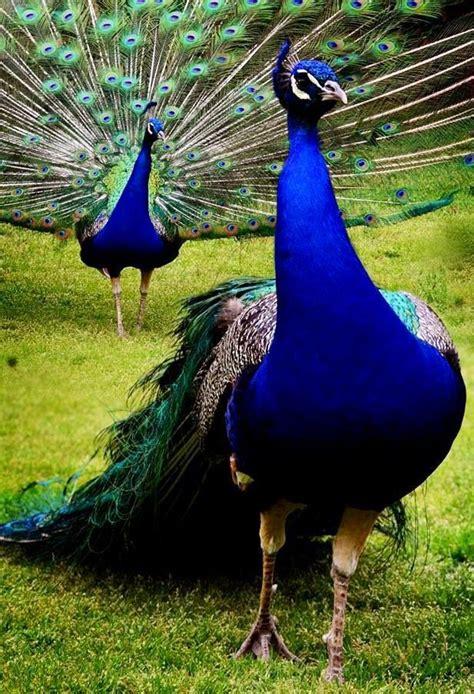 pavao  majestoso aves  passaros  mundo pavao