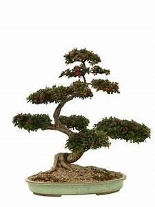 Alpenveilchen Gießen Wie Oft : wie oft sollte man ein bonsai gie en wasser pflanzen ~ A.2002-acura-tl-radio.info Haus und Dekorationen