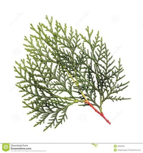 leaves of pine tree stock photography image 32699462