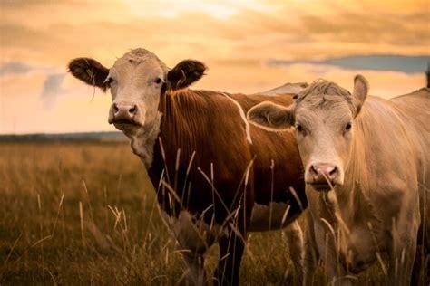 bovine abortion diagnostics find bvd texas