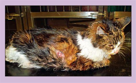 diabetes mellitus  cats vet times