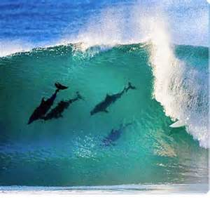 Dolphin Surfing with Surfer