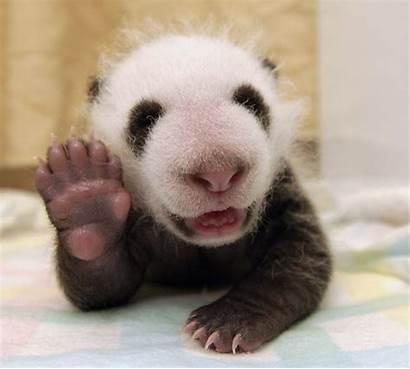 Pandas Adorable Panda Giant Capture Early Cub