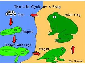 Life Cycle Of A Frog Drawing At Getdrawings