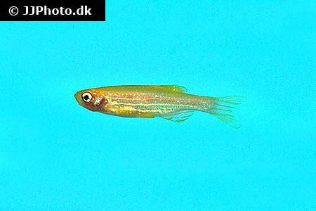 zebra danio fish care size life span tank mates breeding