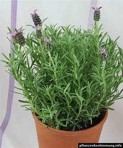 Schopf Lavendel Tee : lavandula stoechas ~ Michelbontemps.com Haus und Dekorationen