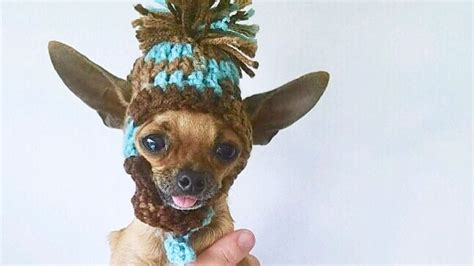 adorable dancing teacup chihuahua pup   dancing
