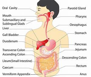 Human Digestive System  Definition  Mechanism  Parts  And