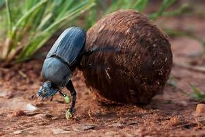 Dung Beetles Roll With It