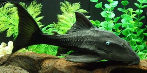 freshwater bottom feeders different types of bottom feeder fish the aquarium guide
