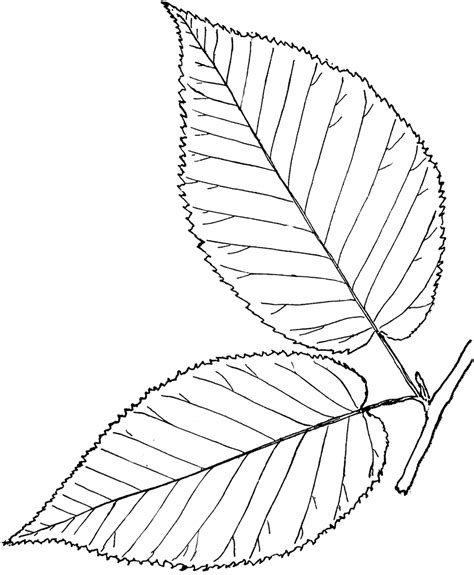 leaf drawing outline  getdrawings