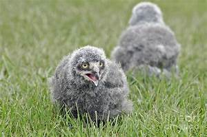 Baby Snowy Owls Photograph by JT Lewis
