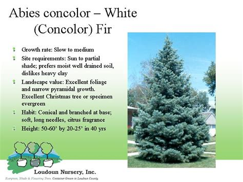 concolor smell like oranges christmas trees index of tree