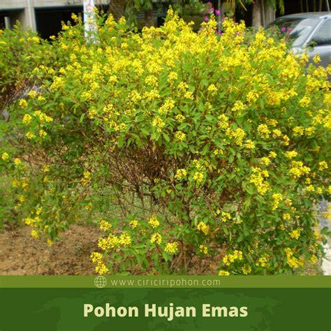 Hanya dia sahaja yang tahu. Ciri Ciri Pohon Hujan Emas (Galphimia glauca) Di Alam Liar - Ciriciripohon.com