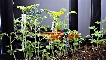 Grow Tomato Indoor Tropical Garden Tomatoes Cherry