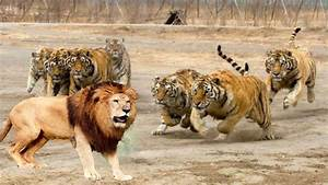 LİON vs TİGER Real Fight Elephant Hippo Leopard Wild Boar ...