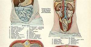 1911 General View Of The Organs Of The Chest And Abdomen Plate B Human Anatomy Print  Heart