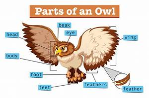 Diagram Showing Parts Of Owl Stock Vector
