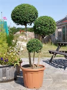 box leaf privet 1 2 standard topiary buy hire top topiary