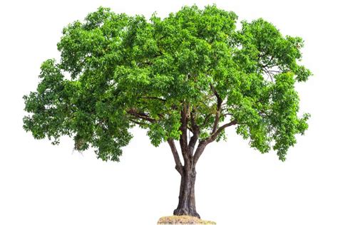 Tree Images No Background by Tree Leaf Chart Shape Margin And Venation