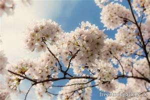 Baum Mit Blüten : wei e bl ten am baum fr hling ~ Frokenaadalensverden.com Haus und Dekorationen