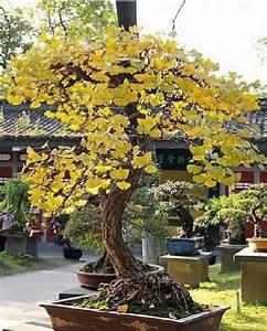 Ginkgo Samen Kaufen : online kaufen gro handel ginkgo bonsai aus china ginkgo ~ Lizthompson.info Haus und Dekorationen