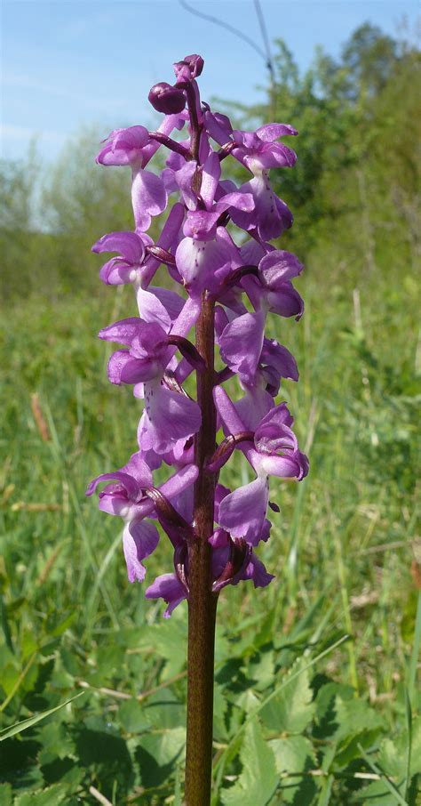 File:Orchis mascula 030508a.jpg - Wikimedia Commons