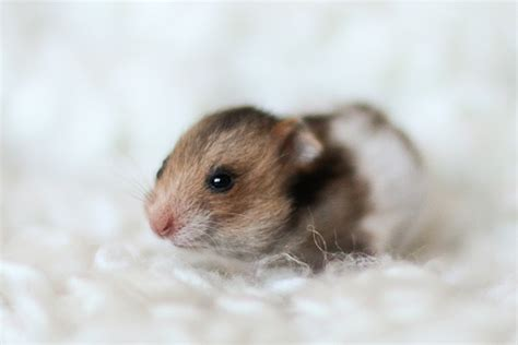 baby hamster lo 240 holts erlingur golden banded syrian hamster baby flickr photo sharing