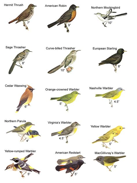 birds of virginia chart pictures to pin on pinterest