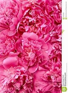Peony Flower Heads - Background Royalty Free Stock Photo