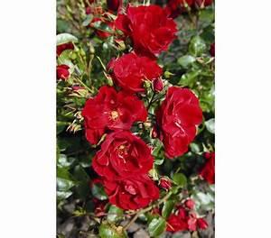 Paprika Pflanzen Pflege : strauchrose 39 paprika 39 dehner garten center ~ Markanthonyermac.com Haus und Dekorationen