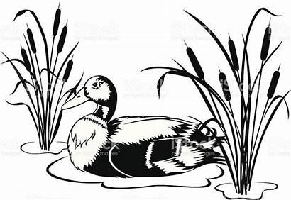Duck Cattails Mallard Clipart Vector Ducks Water