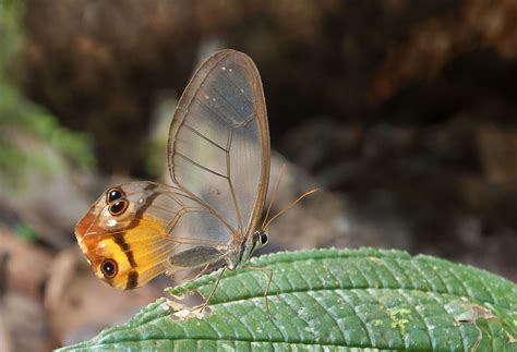 butterfly led list of butterflies of the river basin and the