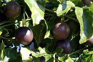 Other Fruit Trees | Tulbagh Nursery