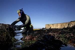 Collapse Of Kelp Forest Imperils North Coast Ocean Ecosystem