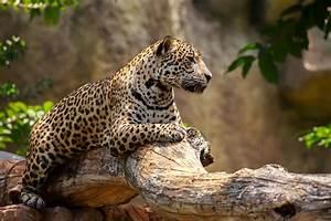Jaguar attacks woman taking selfie at Arizona zoo | WTOP  Jaguar