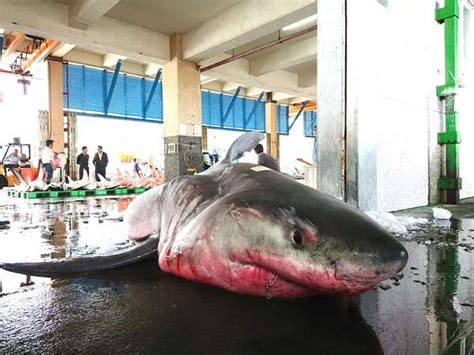 Big, Pregnant Great White Shark Caught Off Taiwan's North