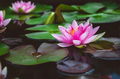Beautiful Pink Lotus Flower Stock Photo - Download Image ...
